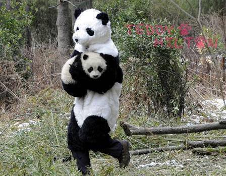the panda researchers